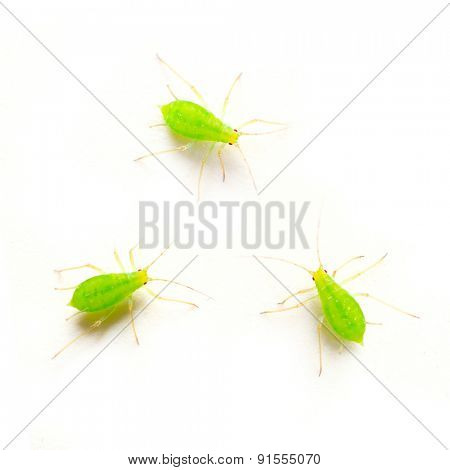 Green aphids on white background - dangerous vermin for garden.
