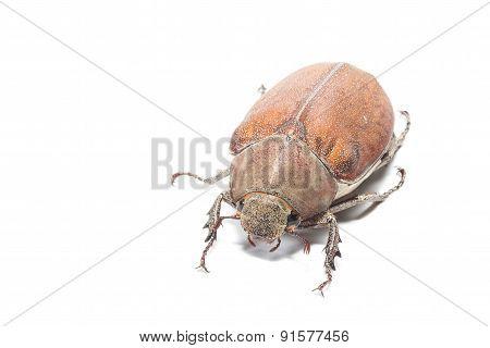 Female Rhinceros BeetleUnicorn Beetle
