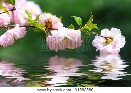 Flowering Almond Tree Blossoms