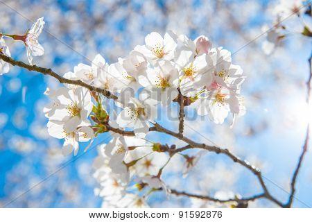 Sakura cherry Blossoms with sun beam poster