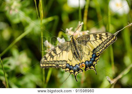 Papilio Machaon - Swallowtail