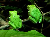 two waxy monkey tree frogs turn their backs to the crowd. ( phyllomedusa sauvagii ) poster