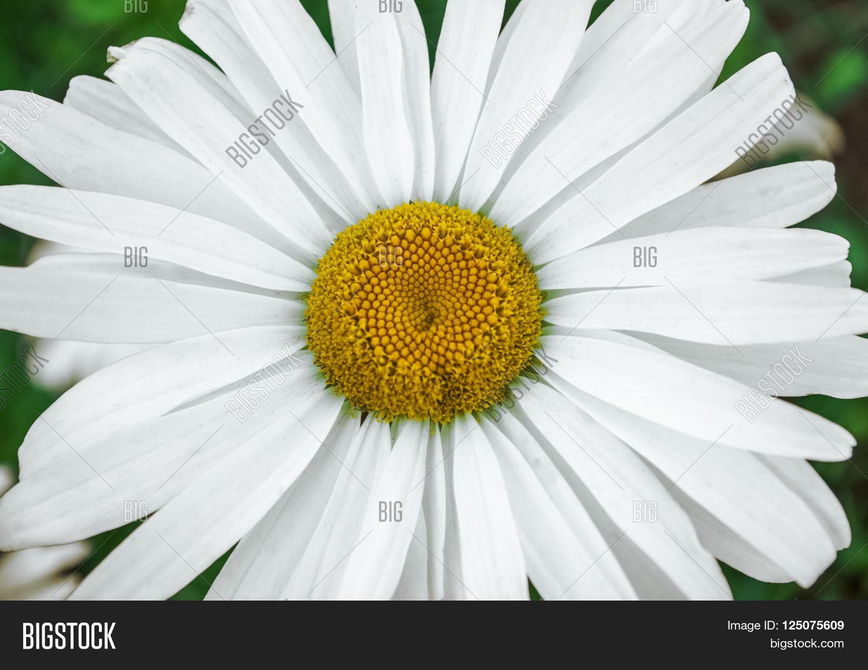 White Daisy Flower Image Photo Free Trial Bigstock