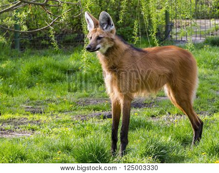 Adult maned wolf (Chrysocyon brachyurus) is standing poster