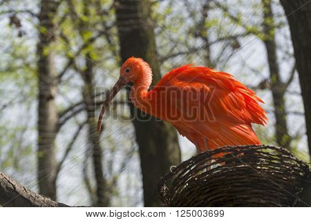 South American Scarlet ibis (Eudocimus ruber) in a nest