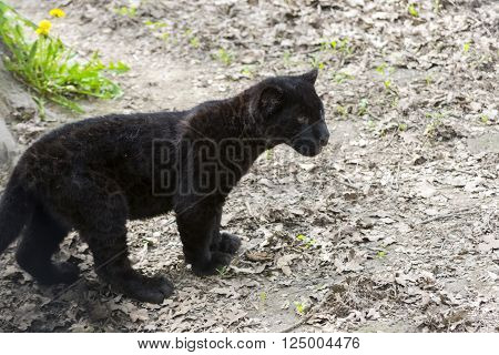 Black jaguar (Panthera onca) baby on the ground