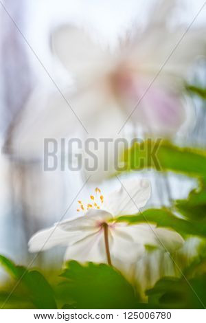 Wood anemone spring wild flower abstract. Wood anemone, wild spring flowers. A white flower carpet is covering the forest floor. Anemone nemorosa a beautiful wildflower. Background with copyspace poster