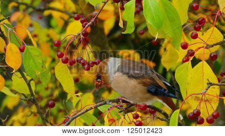 grosbeak migratory bird season autumn winter color blue