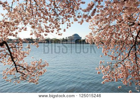 Jefferson Memorial with the cherry blossoms of spring surrounding the building