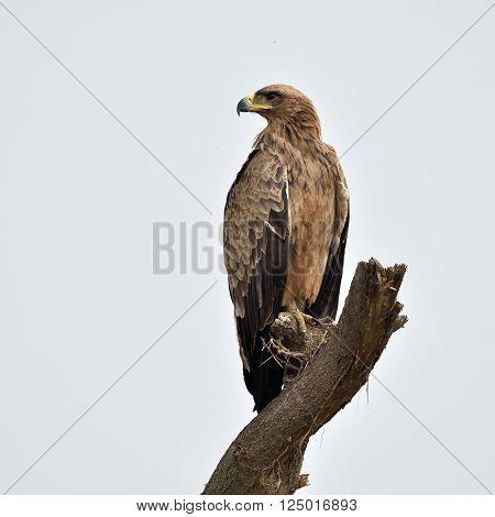Tawny eagle (Aquila rapax) sitting on branch