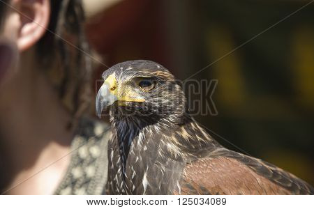 Harris Hawk or Parabuteo unicinctus a medium-large bird of prey which breeds from the southwestern United States south to Chile and central Argentina. poster