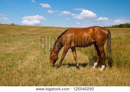 Beautiful brown steed grazing on field Ukraine