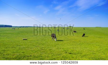 Cows in valley in the Countryside near Stonehenge in Wiltshire in the UK. Wiltshire is a county in South West England. It is famous for many valleys and downhills.