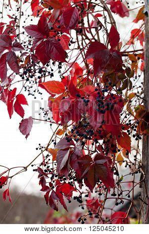 autumn wild grape liana (Parthenocissus quinquefolia) virginia creeper