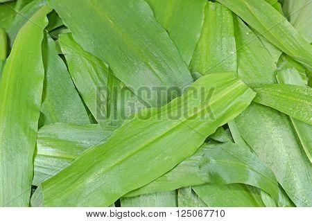 Leaves of wild garlic (Allium ursinum) green