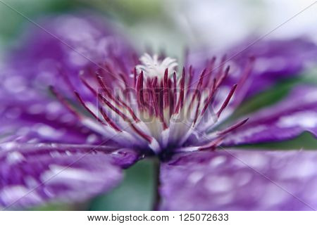 Closeup of bright blue Clematis Flower, shallow DOF ** Note: Shallow depth of field