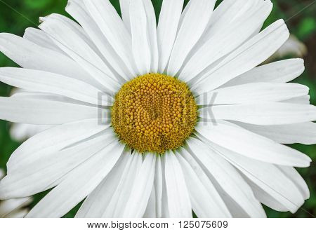 White daisy flower close up on a background