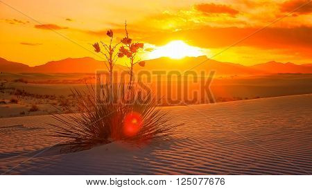 A beautiful sunset of a Yucca plant on the sand dunes at White Sands National Monument in New Mexico
