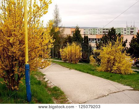 way to school in the city of Prešov with shrubbery which begins to bloom