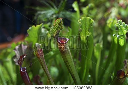 Carnivorous plant. Sarracenia stalks under natural conditions poster