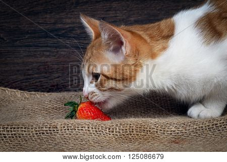 Cat eating strawberries. The cat is white with red