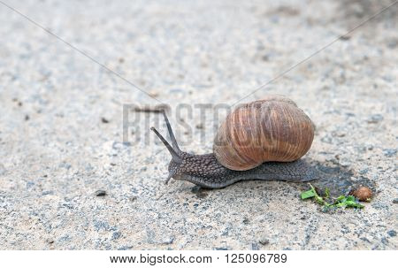 burgundy snail (Roman snail edible snail escargot) (Helix pomatia) on the road
