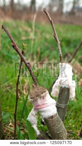 apple trees renovation by the grafting. A close up