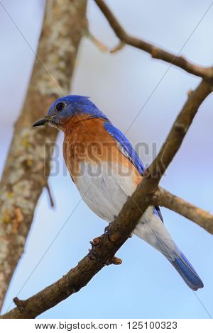 Very Bright Young Northern Bluebird Perched On A Branch Colorful