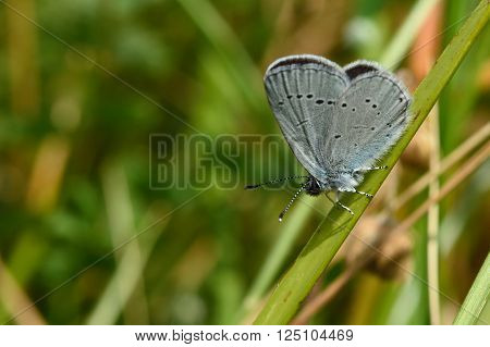 Small blue (Cupido minimus) showing underside of wings. Delicate little blue butterfly in the family Lycaenidae, at rest in a British meadow