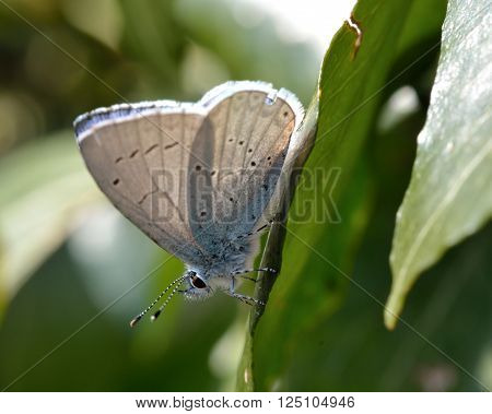 Holly blue (Celastrina argiolus) showing underside of wings. Delicate blue butterfly in the family Lycaenidae, at rest on an ivy leaf in a hedgerow