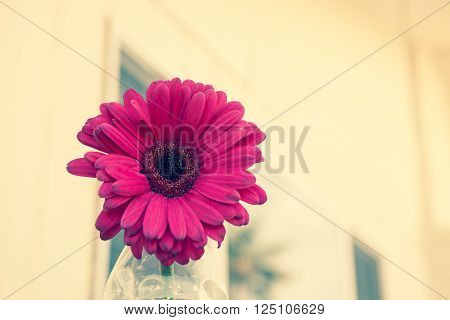 One pale pink Gerbera flower close up, selective focus