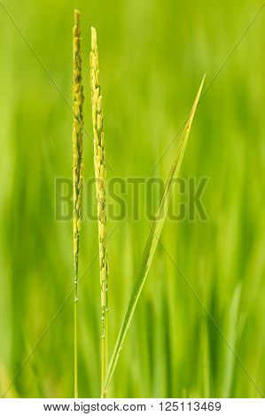 Close up of green paddy rice, nature in thailand.