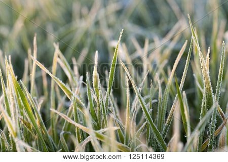 photographed close-up of green plant young wheat in the morning after a frost, a small depth of field poster
