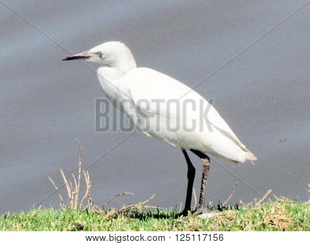 White Heron on the banks of the pond in Ramat Gan Park 24 June 2011 Israel