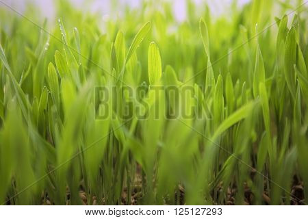 Young Spring Grass. Fresh natural Green Grass close-up with blurred background. Eco concept. Pure Nature. Wheat Seeds. Germination of Wheat Growing Agriculture. Spring landing