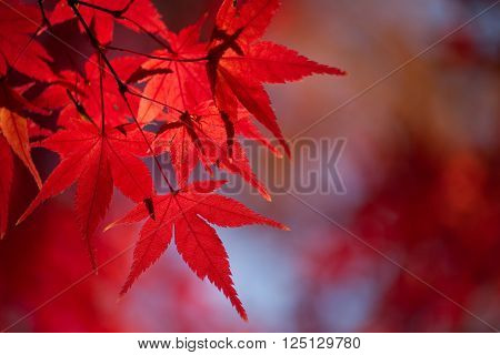 Red Japanese Maple (Acer palmatum) Tree Autumn Leaves in the sun ** Note: Visible grain at 100%, best at smaller sizes