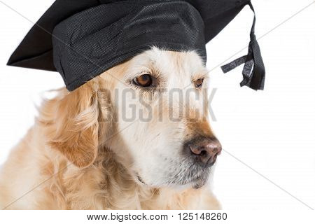 Golden Retriever dog with graduation cap and white background