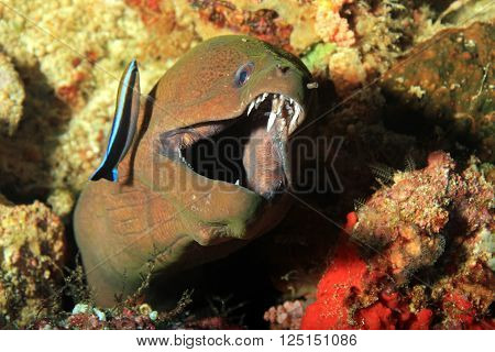 Giant Moray (Gymnothorax Javanicus) with Open Mouth Showing Teeth with a Cleaner Wasse on the Side. Fam Raja Ampat Indonesia