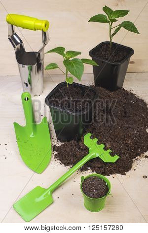 Young tomato growing in a pot and garden tools on a white tree