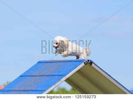 Toy Poodle Climbing Over an A-Frame at Dog Agility Trial poster