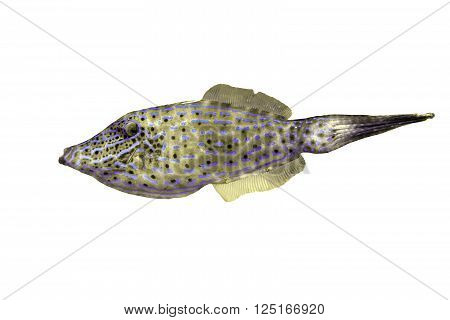 Aluterus Scriptus or Scrawled Filefish isolated over a white background with a clipping path at original size