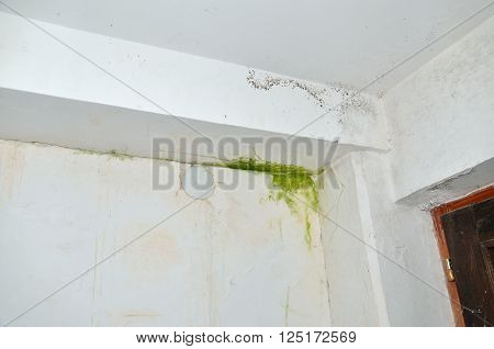 Green and gray mold in corner of white ceiling and wall