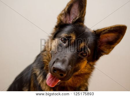 Funny German shepherd with its head tilted (shallow DOF selective focus on the eyes) retro style