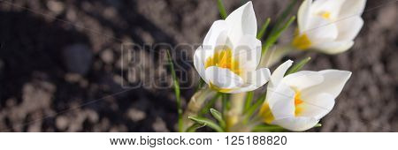 The Awakening Of Nature, Earth Day. White Crocus On Background Zemli.mesto For Text.