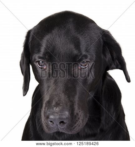 Portrait of a gloomy black Labrador as a gloomy dog concept (isolated on white) selective focus on the dog eyes