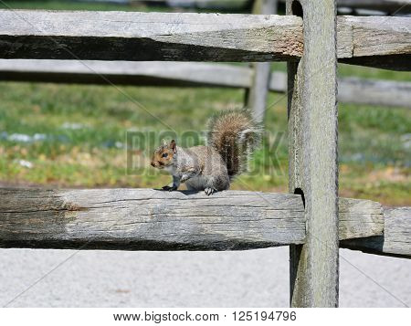 A squireel on a fence getting some sun.