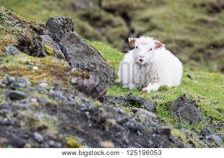 Sheep on the Faroe Islands sitting on a rock with green grass