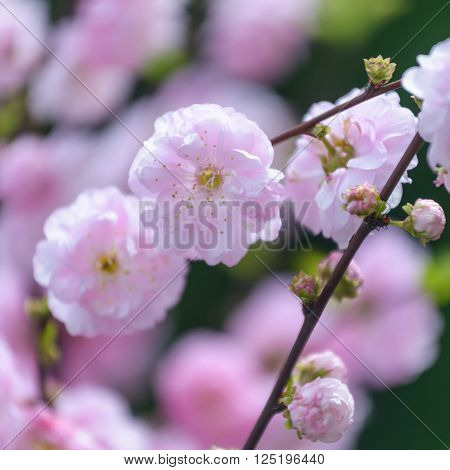 Close up pf branch with beautiful pink flowers . Amygdalus triloba.