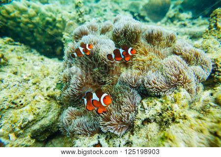 Sea anemone and clown fish. Underwater shoot.