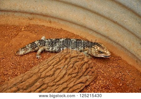 Blue-Tongue lizard with stocky body with unique pattern and scaly skin with a red sand background and metal barrel detail.